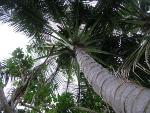 Up through the coconut trees